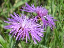 2014-08-08 Györ vormittag CIMG2986 Flockenblumen am Deich der Mosoni Duna