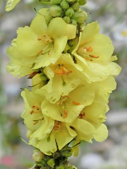 Windblumen-Königskerze (Verbascum phlomoides)