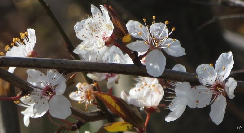 2015-04-07 bLüchowSss IMG_1802 Wildkirschblüten