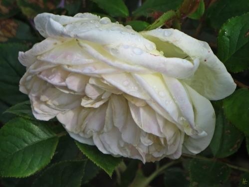 2015-06-18 LüchowSss Garten (8) Nostalgie-Rose Artemis