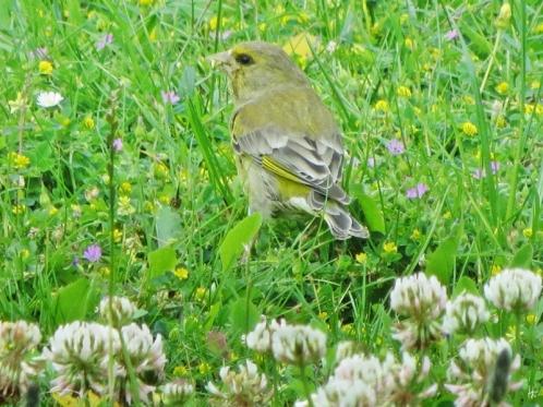2015-06-22 LüchowSss Garten IMG_3790 Grünfink (Carduelis chloris)