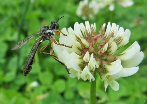 2015-06-22 LüchowSss Garten IMG_3837 Weissklee+Höcker-Habichtsfliege ( Dioctria rufipes )