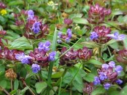 2015-06-22 LüchowSss Garten IMG_3855 Kleine Braunelle (Prunella vulgaris)