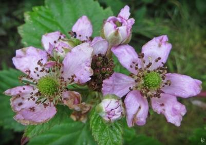 2015-06-26 LüchowSss Garten 082 Brombeerblüten (Rubus)