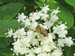 2015-06-26 LüchowSss Garten 113 Holunder (Sambucus nigra)+Schwebfliege