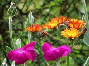 2015-06-26 LüchowSss Garten 129 OrangerotesHabichtkraut+Kronen-Lichtnelke