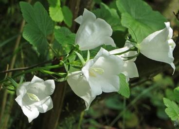 2015-06-26 LüchowSss Garten 158 PfirsichblättrigeGlockenblume_weiss