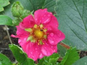 2015-06-27 LüchowSss Garten 033 Rosa_Erdbeere