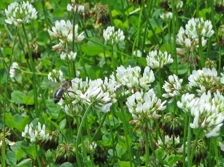 2015-06-28 LüchowSss Garten 112 Weissklee+Honigbiene