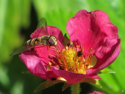 2015-06-28 LüchowSss Garten 199 Hainschwebfliege+Erdbeerblüte Camara