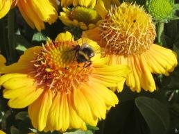 2015-06-29 LüchowSss Garten 011 Sonnenbraut+Erdhummel