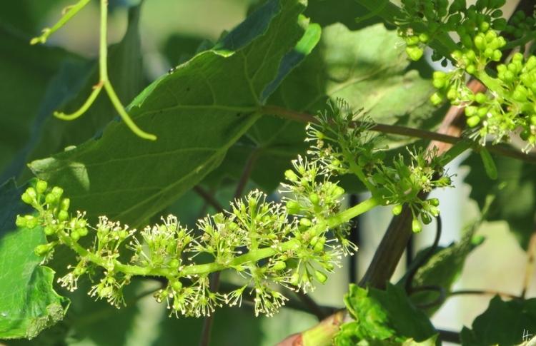 2015-07-01 LüchowSss Garten morgens gegen halb neun (8) Weinblüte