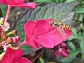 2015-08-01 LüchowSss 055 Garten Rote Hortensie+Hain-Schwebfliege