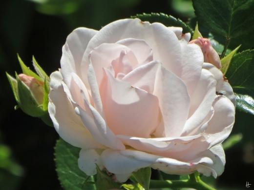 2015-08-01 LüchowSss 116 Garten Beetrose Aspirin