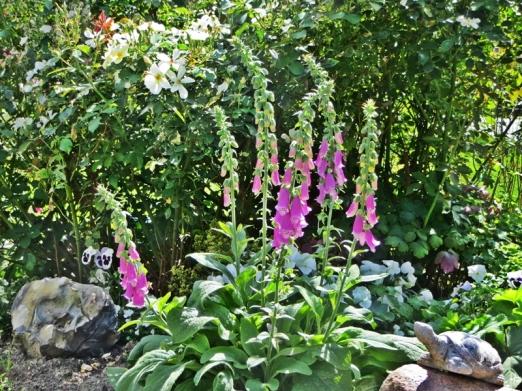 2015-08-01 LüchowSss 202 Garten Rose Kew Gardens + Purpurroter Fingerhut