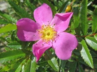 2015-08-04 LüchowSss Garten (78) Glanzrose (Rosa nitida)