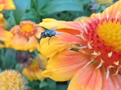 2015-08-20 LüchowSss Garten 004 Goldfliege (Lucilia sericata)+Sonnenbraut(Helenium)