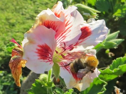 2015-08-20 LüchowSss Garten 008 Pelargonienblüte(Pelargonium grandiflorum-Hybride)+Ackerhummel(Bombus pratorum)