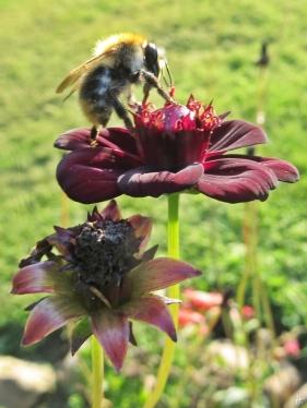 2015-08-20 LüchowSss Garten 010 Schokoladenkosmee(Cosmos atrosanguineus)+Ackerhummel(Bombus pratense)
