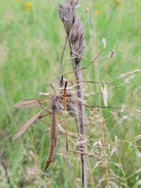 2015-09-09 bJameln mU (24) Wiesenschnake (Tipula paludosa)