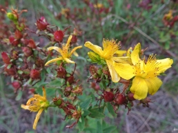 2015-09-09 bJameln mU (28) Johanniskraut (Hypericum perforatum)