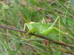 2015-09-09 bJameln mU (40A) Grünes Heupferd (Tettigonia viridissima)