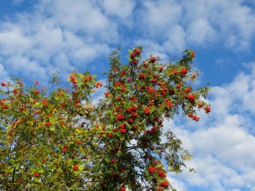 2015-09-09 b Jameln mU (52) Eberesche mit Früchten (Sorbus aucuparia)