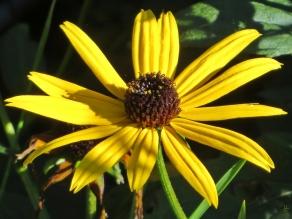 2015-10-11 LüchowSss Garten (10) Sonnenauge (Heliopsis helianthoides)