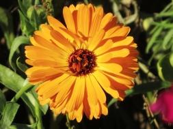 2015-10-11 LüchowSss Garten (106) Ringelblume (Calendula officinalis)