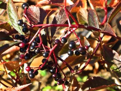2015-10-11 LüchowSss Garten (29) Rotlaubiger Holunder (Sambucus nigra)