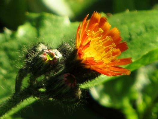 2015-10-11 LüchowSss Garten (33) Orangerotes Habichtskraut (Hieracium aurantiacum)