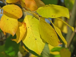 2015-11-01 bLüchow (2) Ohr- oder Salbei-Weide (Salix aurita)