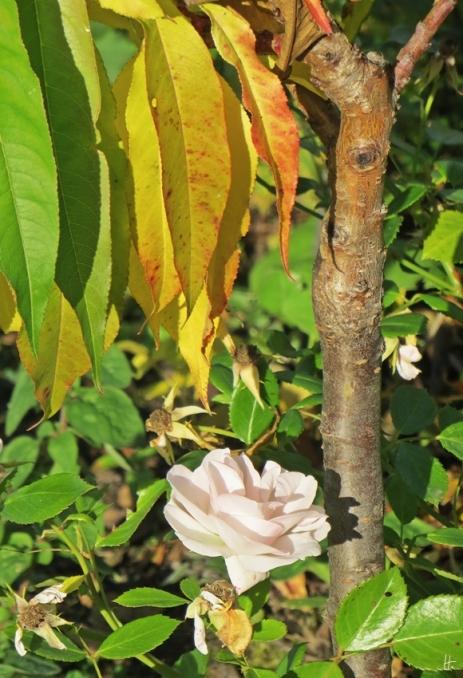 2015-11-01 LüchowSss Garten (34) Rose 'Aspirin'+Zwerg-Pfirsichbaum (Prunus persica)