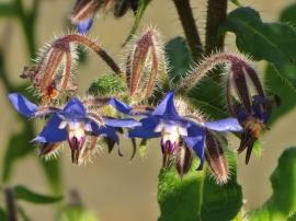 2015-11-01 LüchowSss Garten (37) Borretsch-Blüten (Borago officinalis)