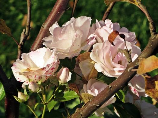 2015-11-01 LüchowSss Garten (46) Rose 'Aspirin'+Zwerg-Apfelbaum
