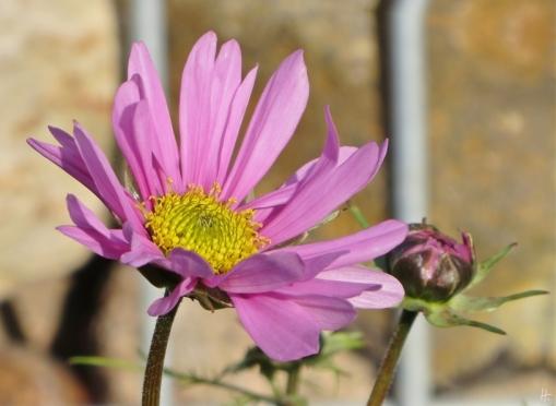 2015-11-01 LüchowSss Garten (8) Schmuckkörbchen (Cosmos bipinnatus)