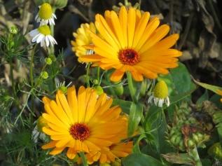 2015-11-01 LüchowSss Garten (9) Ringelblume (Calendula officinalis) + Echte Kamille (Matricaria chamomilla )