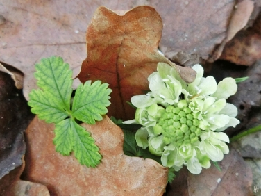 2015-12-23 LüchowSss Garten (21) Gelb-Skabiose (Scabiosa ochroleuca)