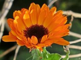 2015-12-23 LüchowSss Garten (60) Ringelblume (Calendula officinalis)