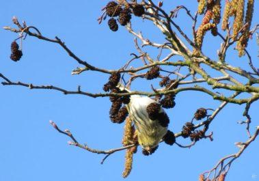 Erlenzeisige (Carduelis spinus)