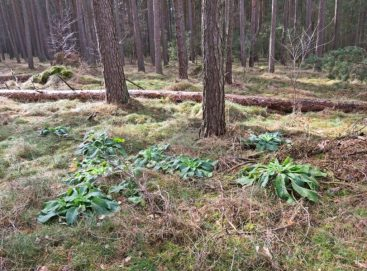 2016-03-07 Böseler Wald 086 Fingerhutrosetten