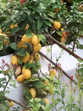 2016-03-29 Lissabon (Portugal) Tag 1 (2) Zitronen im Hotelgarten