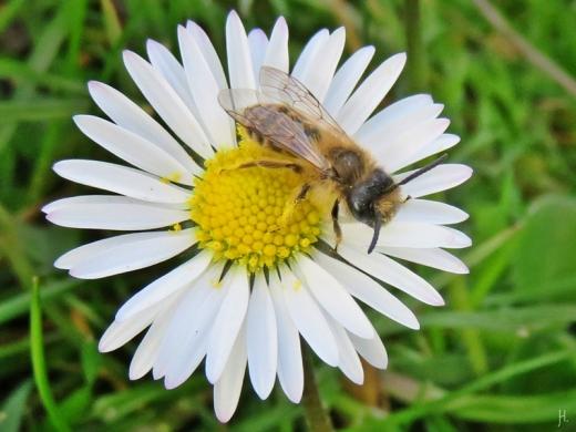 2016-04-09 LüchowSss Garten (19) Biene auf Gänseblümchen