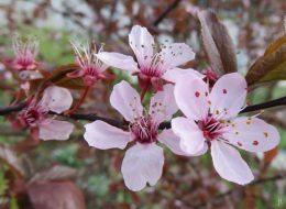 2016-04-09 LüchowSss Garten (6) Blutpflaumenblüten