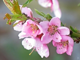 2016-04-09 LüchowSss Garten (8) Pfirsichblüten und Ameisen
