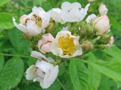 2016- 06-02 LüchowSssGarten (12) Büschel-Rose (Rosa multiflora)