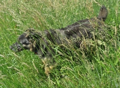 2016-06-04 bLüchow (31) Bongo im hohen Gras