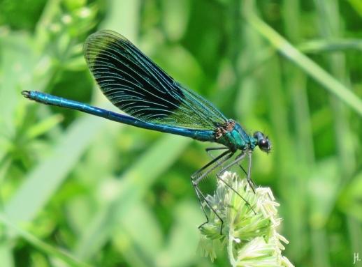 2016-06-04 bLüchow (63) Gebänderte Prachtlibelle (Calopteryx splendens)