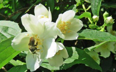 2016-06-04 LüchowSss Garten Pfeifenstrauch (Philadelphus coronarius) (2) Düster-Sandbiene