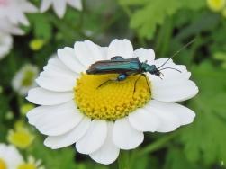 2016-06-13 LüchowSss Garten (49) Grüner Scheinbockkäfer (Oedemera nobilis ) auf Mutterkraut